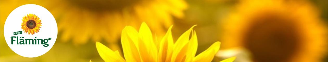 Das Logo (Schriftzug Fläming mit einer Sonnenblume) vor einem Sonnenblumenfeld
