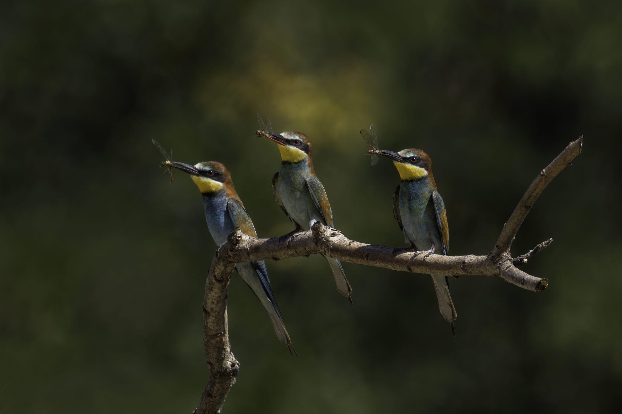 Drei blaue Vögel auf einem Ast, jeder mit einem Insekt im Schnabel.